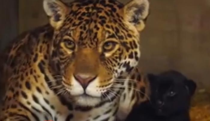 """Pui rar de jaguar, vedetă la Zoo în Kent. """"Baby"""" face parte dintr-o specie ameninţată cu dispariţia"""