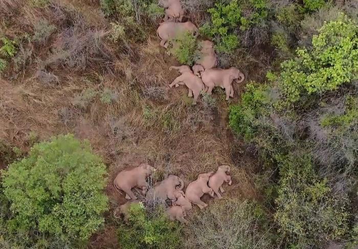 Turma de elefanți care umblă prin China de un an s-a oprit pentru un pui de somn. Călătoria animalelor a captivat oamenii din întreaga lume