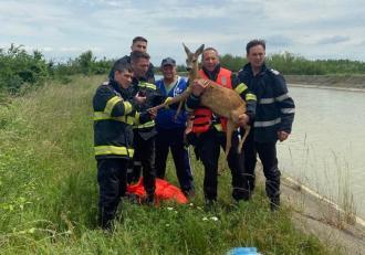 Căprioară salvată de pompierii din Neamț, după ce a căzut în canalul Bistrița